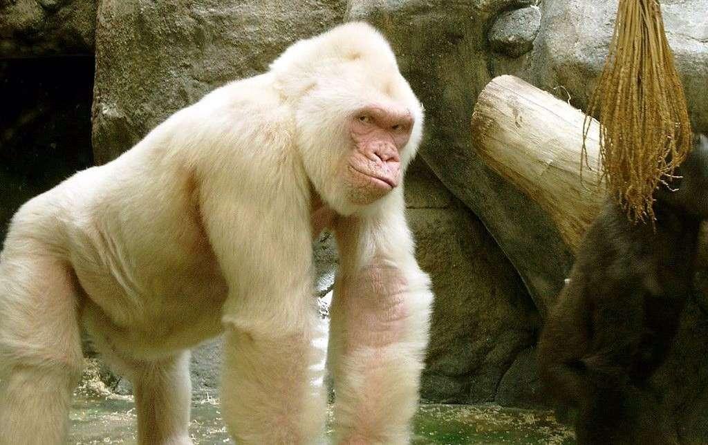 408796-animal-lovers-white-gorilla-snowflake